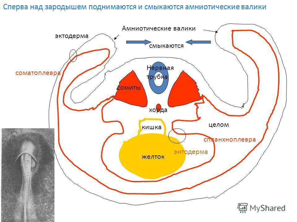 желток кишка целом Амниотические валики эктодерма соматоплевра энтодерма спланхноплевра сомиты Нервная трубка хорда смыкаются Сперва над зародышем поднимаются и смыкаются амниотические валики
