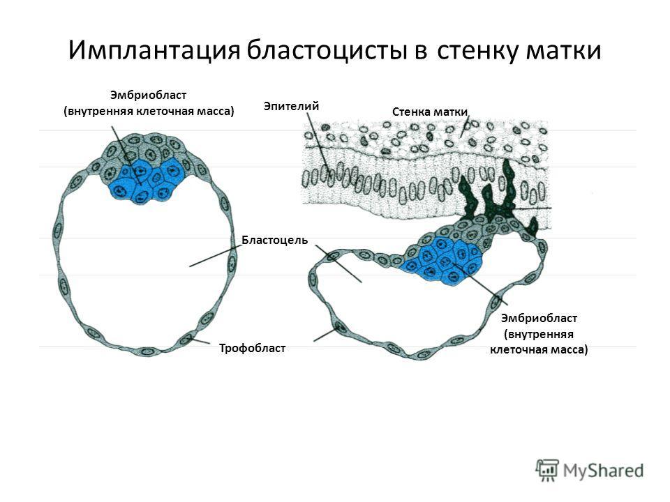 Эмбриобласт (внутренняя клеточная масса) Бластоцель Трофобласт Эпителий Стенка матки Эмбриобласт (внутренняя клеточная масса) Имплантация бластоцисты в стенку матки