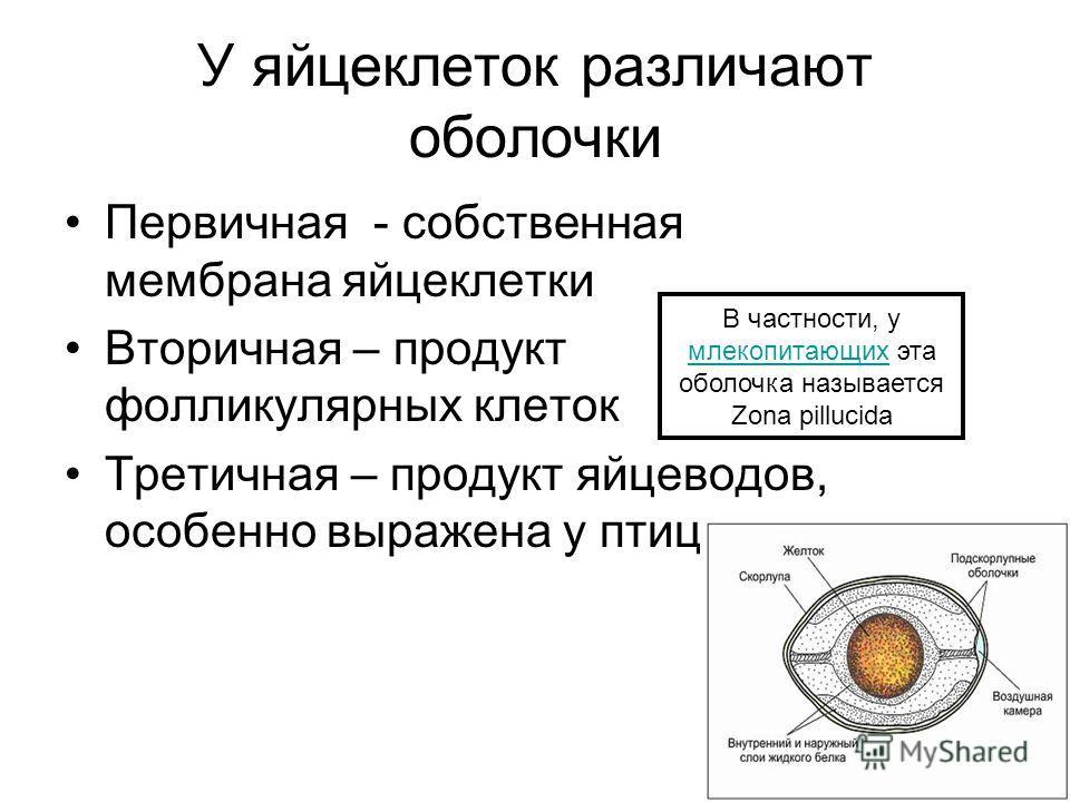 У яйцеклеток различают оболочки Первичная - собственная мембрана яйцеклетки Вторичная – продукт фолликулярных клеток Третичная – продукт яйцеводов, особенно выражена у птиц В частности, у млекопитающих эта оболочка называется Zona pillucida млекопита