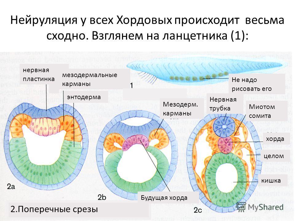 Нейруляция у всех Хордовых происходит весьма сходно. Взглянем на ланцетника (1): 2.Поперечные срезы нервная пластинка мезодермальные карманы энтодерма Не надо рисовать его Будущая хорда Мезодерм. карманы Миотом сомита хорда целом кишка Нервная трубка