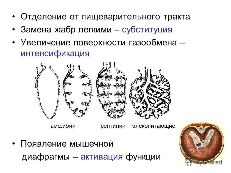 Отделение от пищеварительного тракта Замена жабр легкими – субституция Увеличение поверхности газообмена – интенсификация Появление мышечной диафрагмы – активация функции амфибиирептилиимлекопитающие