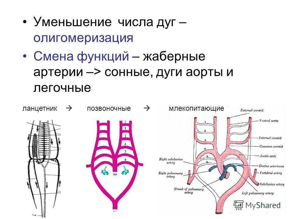 Уменьшение числа дуг – олигомеризация Смена функций – жаберные артерии –> сонные, дуги аорты и легочные ланцетник позвоночные млекопитающие