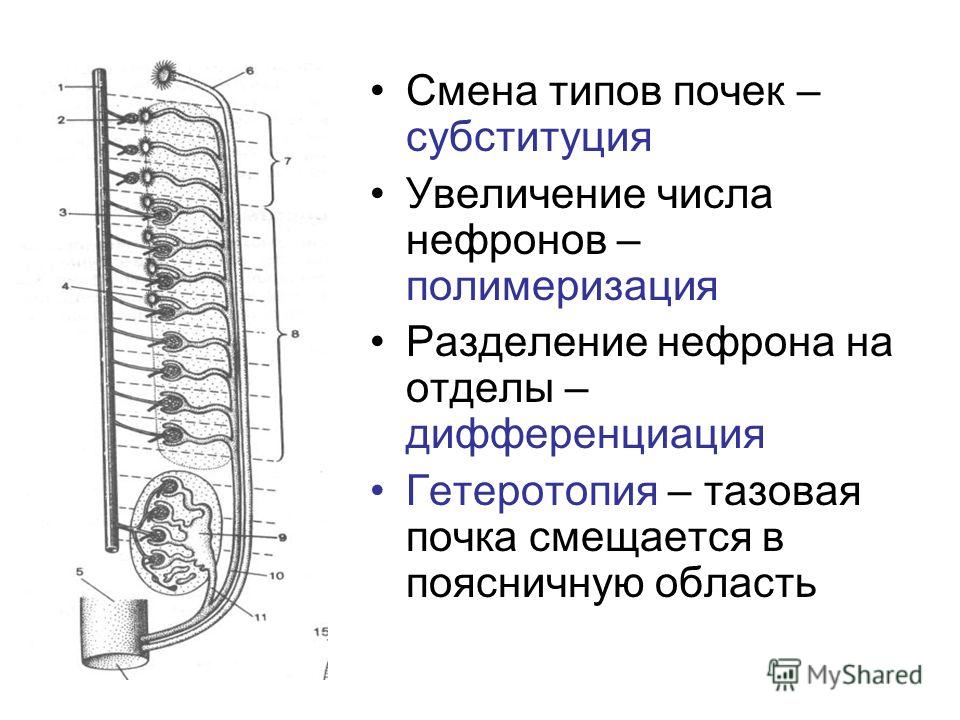 Смена типов почек – субституция Увеличение числа нефронов – полимеризация Разделение нефрона на отделы – дифференциация Гетеротопия – тазовая почка смещается в поясничную область