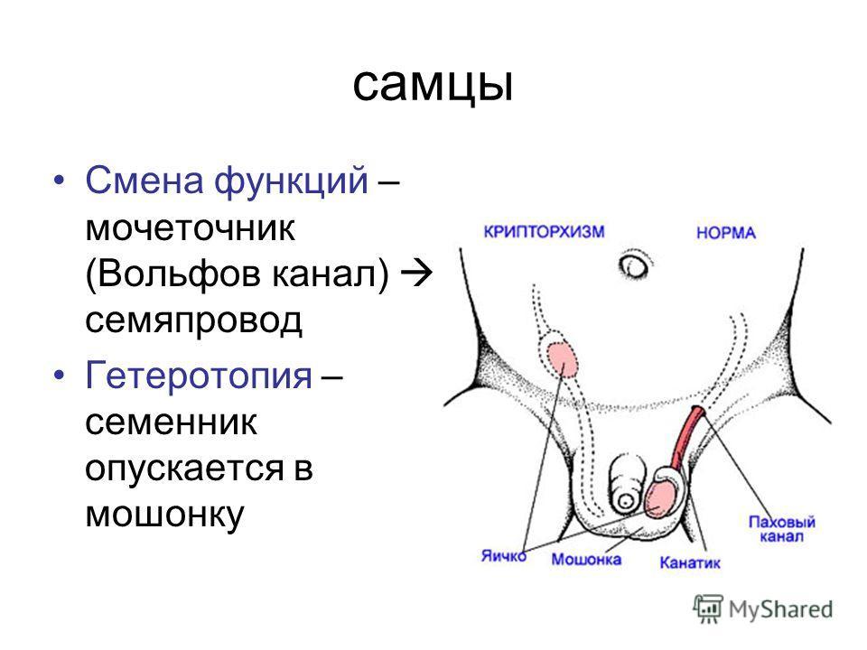самцы Смена функций – мочеточник (Вольфов канал) семяпровод Гетеротопия – семенник опускается в мошонку