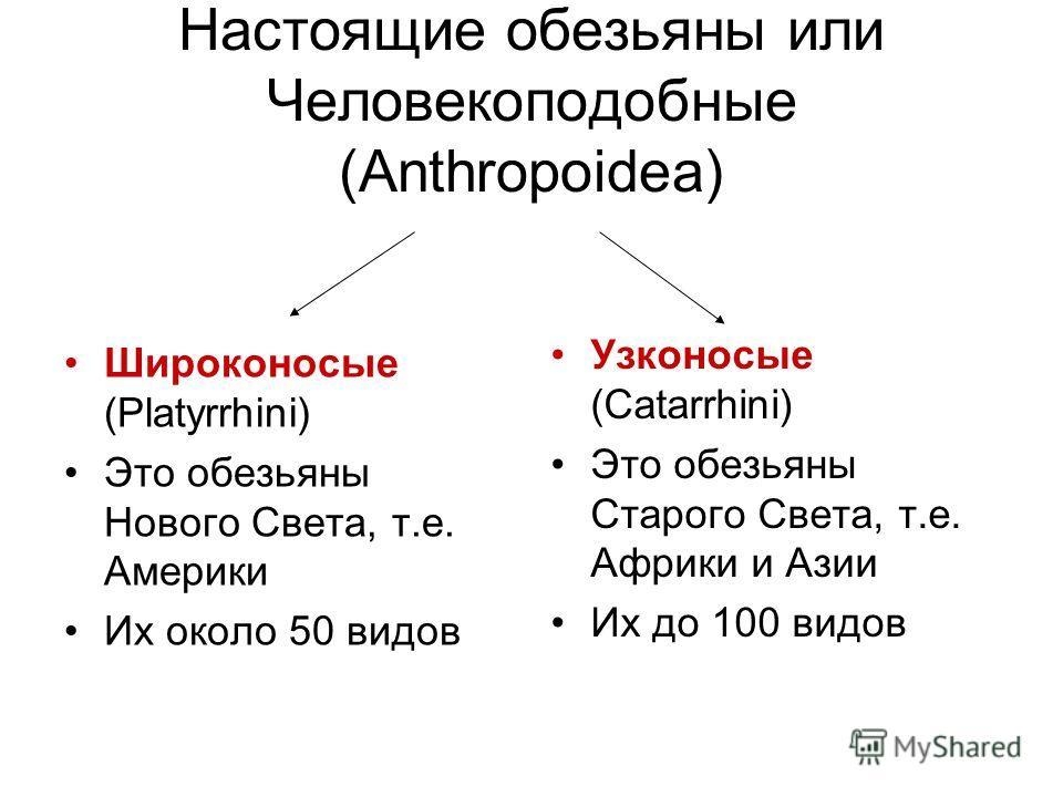 Настоящие обезьяны или Человекоподобные (Аnthropoidea) Широконосые (Platyrrhini) Это обезьяны Нового Света, т.е. Америки Их около 50 видов Узконосые (Catarrhini) Это обезьяны Старого Света, т.е. Африки и Азии Их до 100 видов