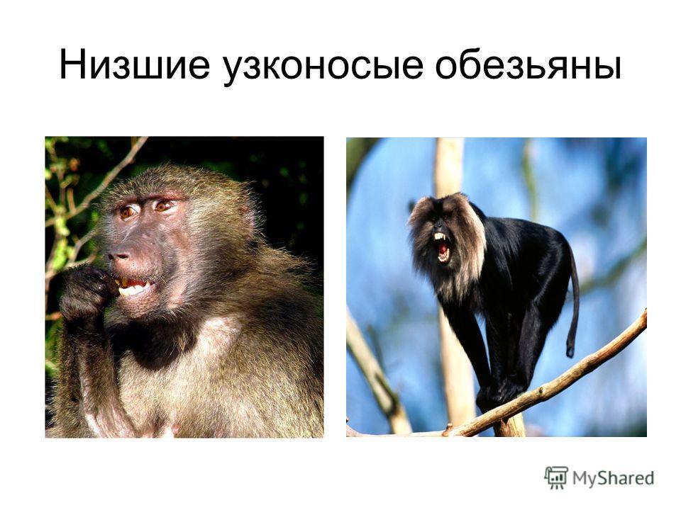 Низшие узконосые обезьяны