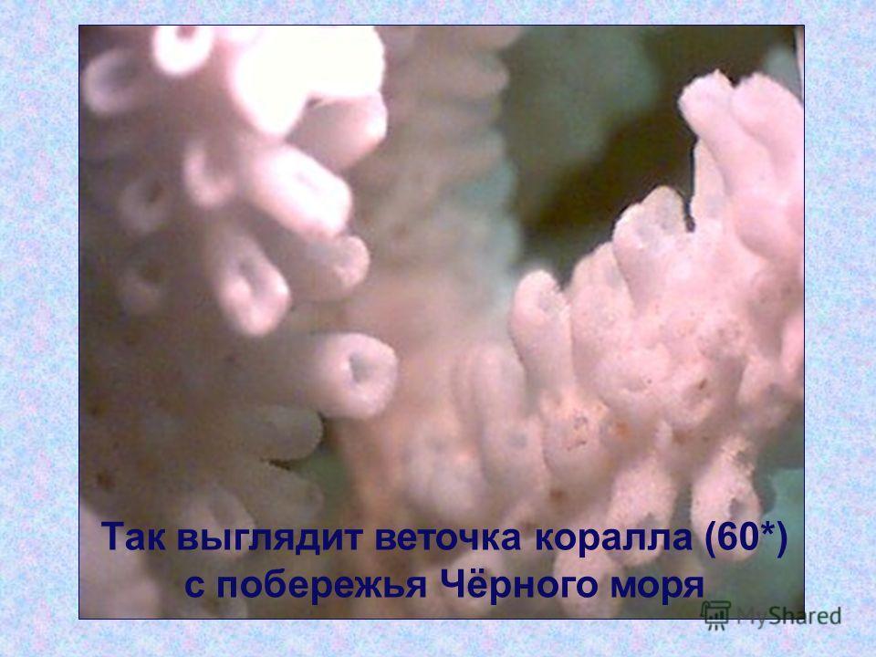 Так выглядит веточка коралла (60*) с побережья Чёрного моря