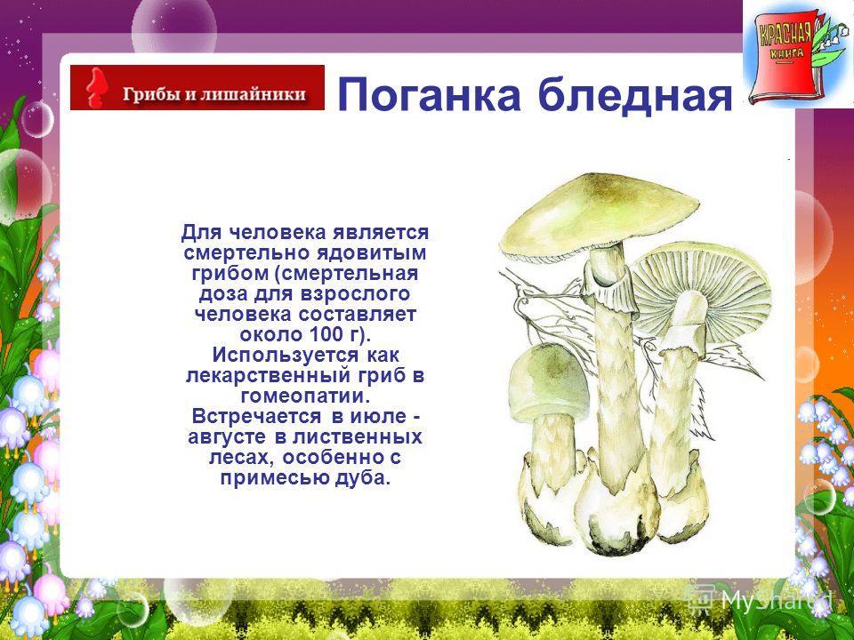 Поганка бледная Для человека является смертельно ядовитым грибом (смертельная доза для взрослого человека составляет около 100 г). Используется как лекарственный гриб в гомеопатии. Встречается в июле - августе в лиственных лесах, особенно с примесью