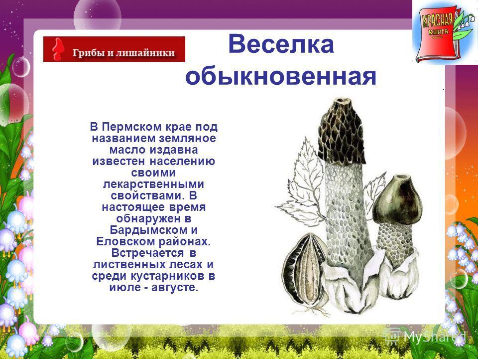 Веселка обыкновенная В Пермском крае под названием земляное масло издавна известен населению своими лекарственными свойствами. В настоящее время обнаружен в Бардымском и Еловском районах. Встречается в лиственных лесах и среди кустарников в июле - ав