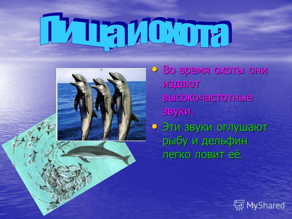 Во время охоты они издают высокочастотные звуки. Во время охоты они издают высокочастотные звуки. Эти звуки оглушают рыбу и дельфин легко ловит её. Эти звуки оглушают рыбу и дельфин легко ловит её.