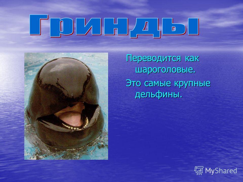 Переводится как шароголовые. Это самые крупные дельфины.