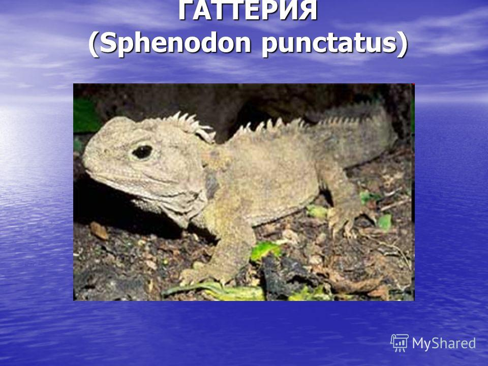 ГАТТЕРИЯ (Sphenodon punctatus)