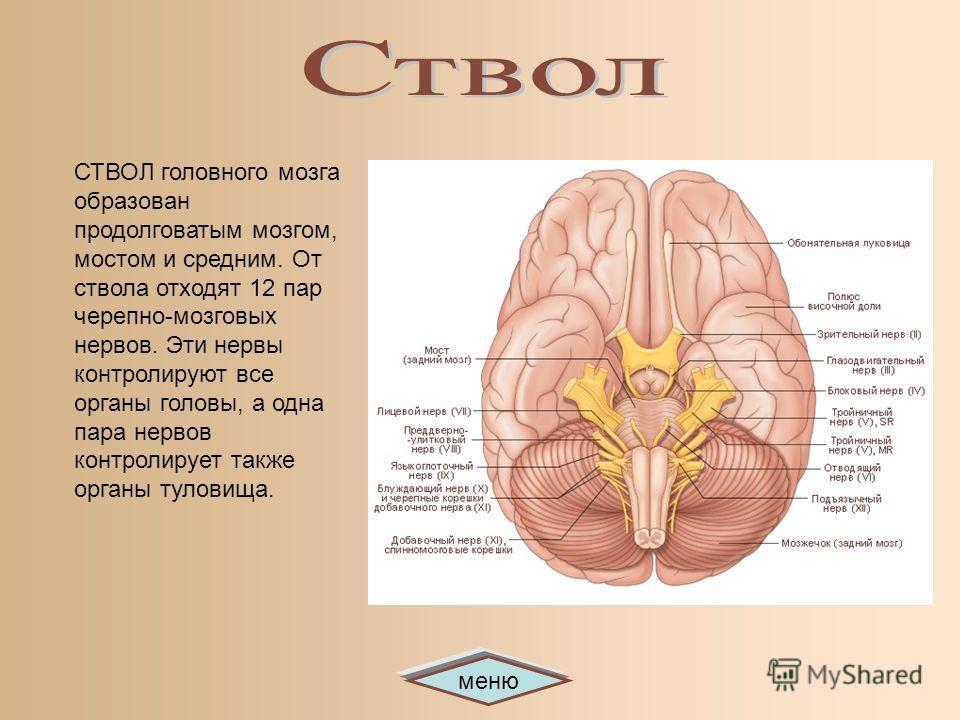 меню СТВОЛ головного мозга образован продолговатым мозгом, мостом и средним. От ствола отходят 12 пар черепно-мозговых нервов. Эти нервы контролируют все органы головы, а одна пара нервов контролирует также органы туловища.