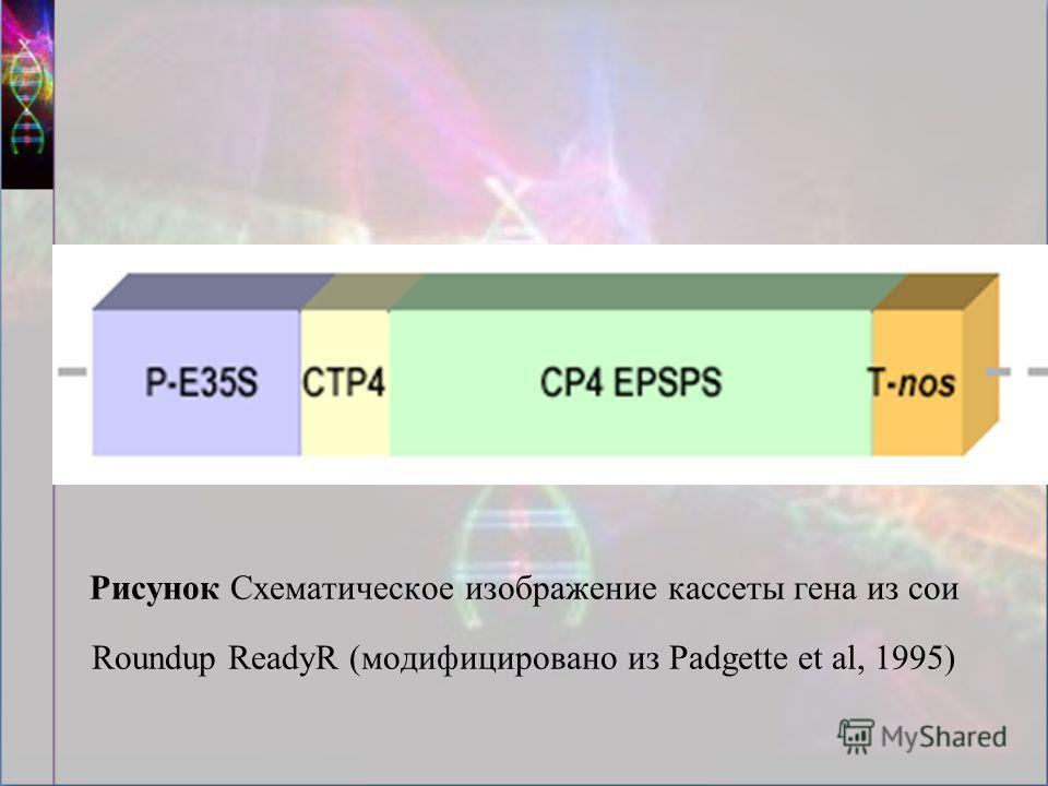Рисунок Схематическое изображение кассеты гена из сои Roundup ReadyR (модифицировано из Padgette et al, 1995)