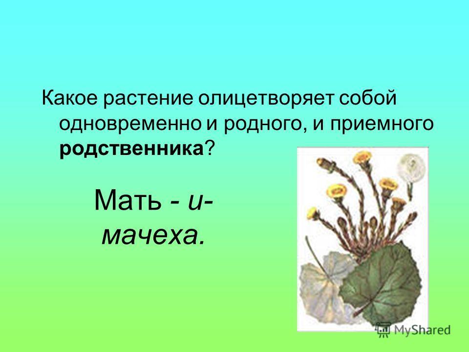 Мать - и- мачеха. Какое растение олицетворяет собой одновременно и родного, и приемного родственника?