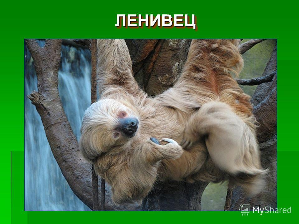 ЛЕНИВЕЦЛЕНИВЕЦ