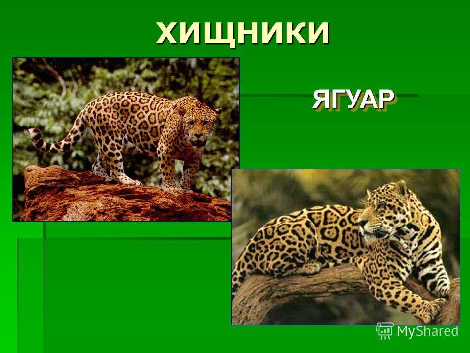 ХИЩНИКИ ЯГУАРЯГУАР