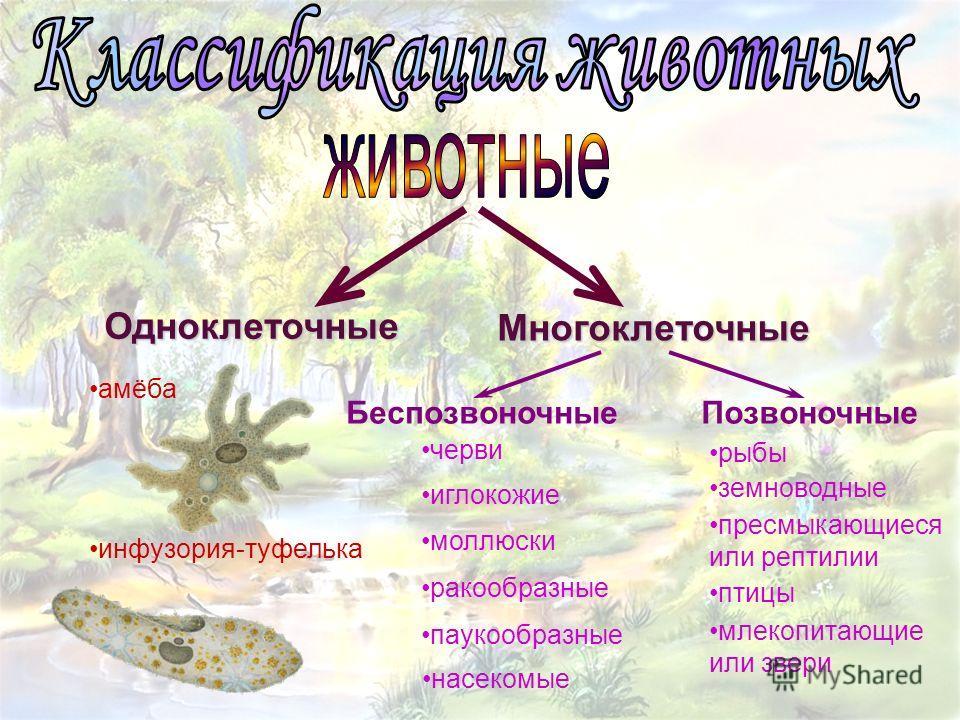 Одноклеточные Многоклеточные БеспозвоночныеПозвоночные черви рыбы амёба инфузория-туфелька иглокожие моллюски ракообразные паукообразные насекомые земноводные пресмыкающиеся или рептилии птицы млекопитающие или звери