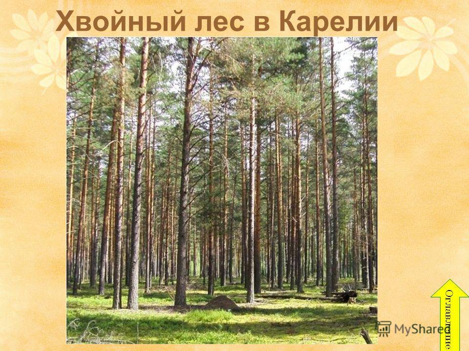 Хвойный лес в Карелии Оглавление