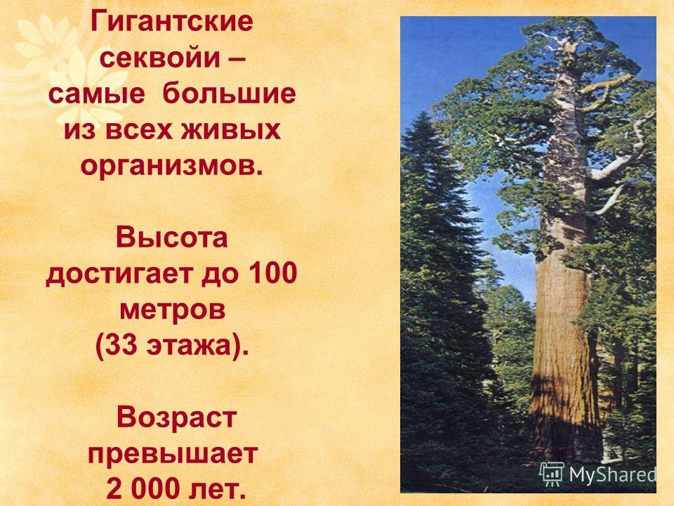 Гигантские секвойи – самые большие из всех живых организмов. Высота достигает до 100 метров (33 этажа). Возраст превышает 2 000 лет.