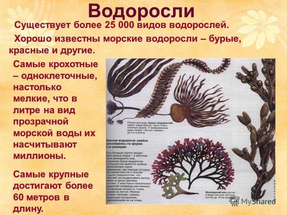 Водоросли Существует более 25 000 видов водорослей. Хорошо известны морские водоросли – бурые, красные и другие. Самые крохотные – одноклеточные, настолько мелкие, что в литре на вид прозрачной морской воды их насчитывают миллионы. Самые крупные дост