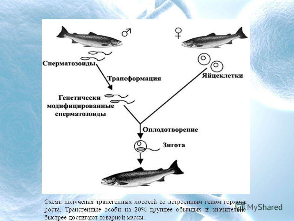 Схема получения трансгенных лососей со встроенным геном гормона роста. Трансгенные особи на 20% крупнее обычных и значительно быстрее достигают товарной массы.