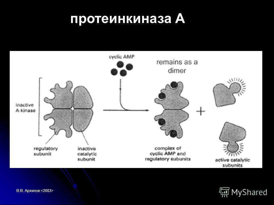 В.В. Архипов протеинкиназа А