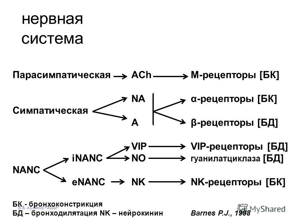 В.В. Архипов нервная система Парасимпатическая AChM-рецепторы [БК] NAα-рецепторы [БК] Симпатическая Aβ-рецепторы [БД] VIPVIP-рецепторы [БД] iNANCNO гуанилатциклаза [БД] NANC eNANC NKNK-рецепторы [БК] БК - бронхоконстрикция БД – бронходилятация NK – н
