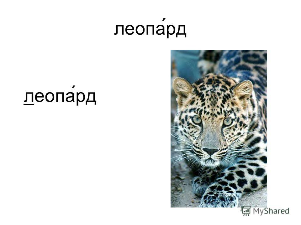 леопа́рд
