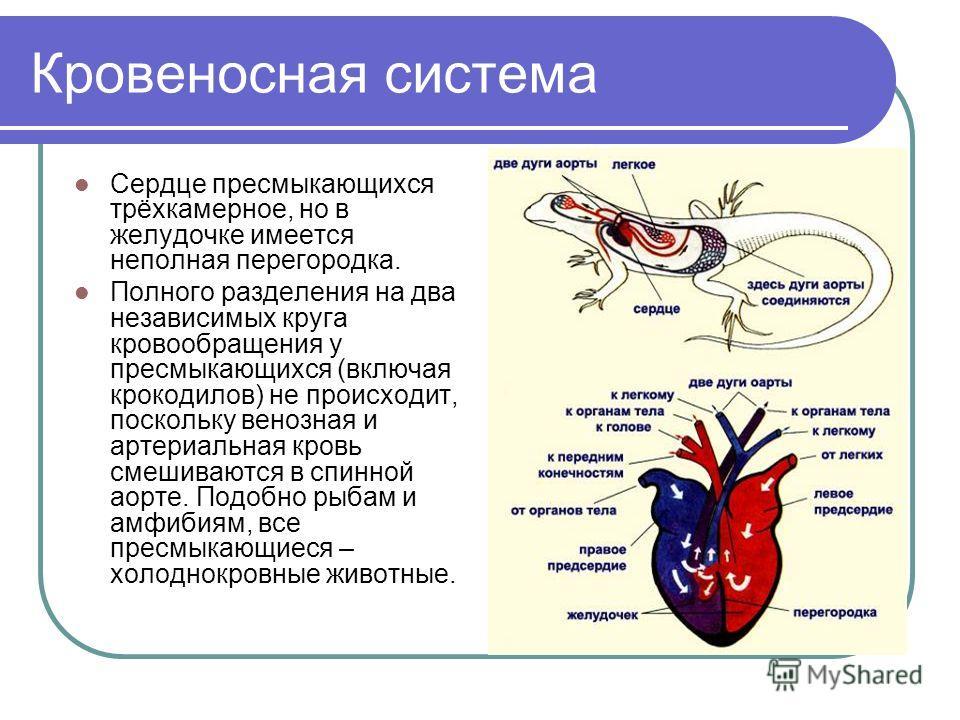 Кровеносная система Сердце пресмыкающихся трёхкамерное, но в желудочке имеется неполная перегородка. Полного разделения на два независимых круга кровообращения у пресмыкающихся (включая крокодилов) не происходит, поскольку венозная и артериальная кро