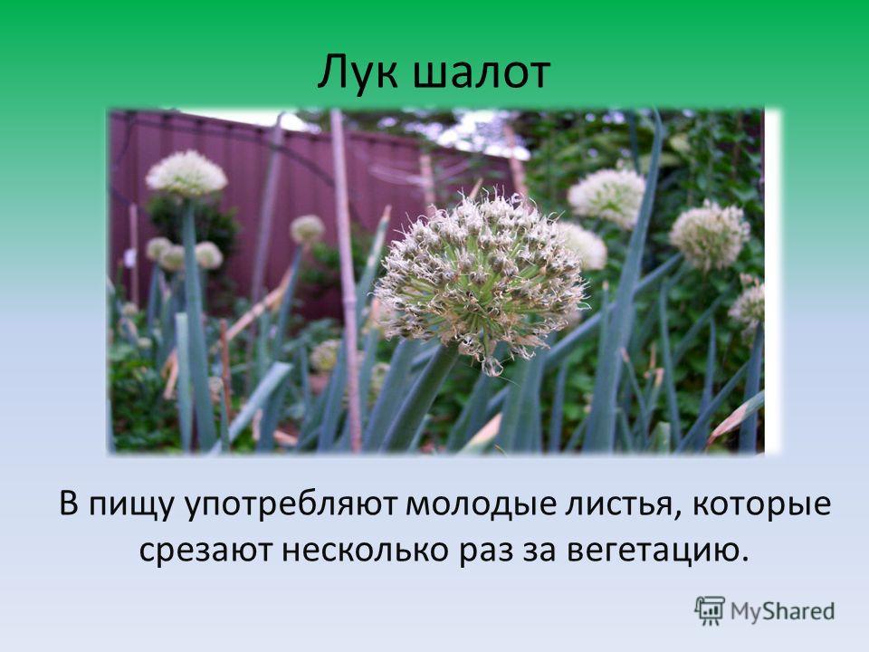Лук шалот В пищу употребляют молодые листья, которые срезают несколько раз за вегетацию.