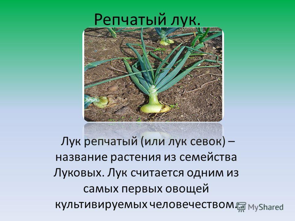 Репчатый лук. Лук репчатый (или лук севок) – название растения из семейства Луковых. Лук считается одним из самых первых овощей культивируемых человечеством.