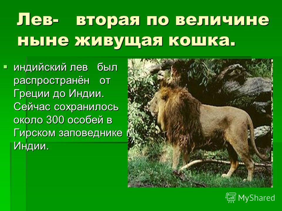 Лев- вторая по величине ныне живущая кошка. индийский лев был распространён от Греции до Индии. Сейчас сохранилось около 300 особей в Гирском заповеднике в Индии. индийский лев был распространён от Греции до Индии. Сейчас сохранилось около 300 особей