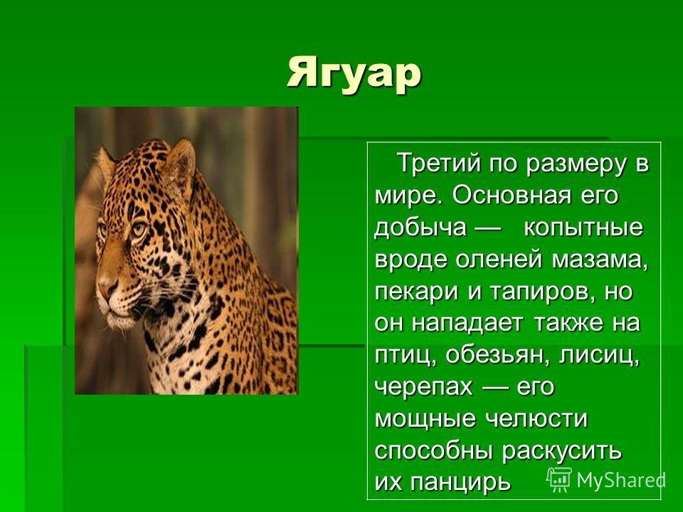 Ягуар Ягуар Третий по размеру в мире. Основная его добыча копытные вроде оленей мазама, пекари и тапиров, но он нападает также на птиц, обезьян, лисиц, черепах его мощные челюсти способны раскусить их панцирь Третий по размеру в мире. Основная его до