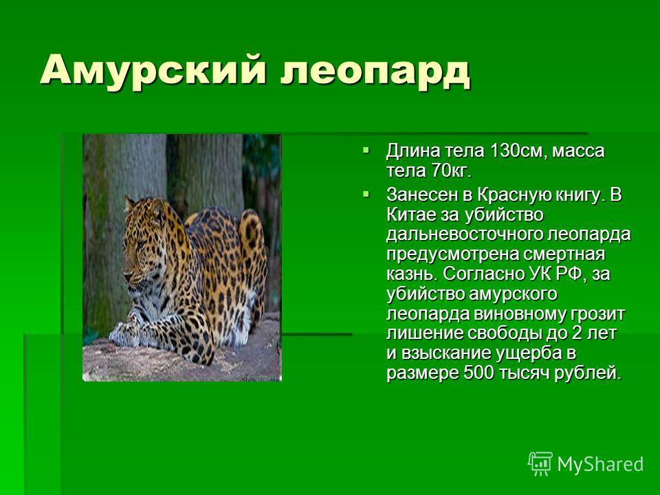 Амурский леопард Длина тела 130см, масса тела 70кг. Длина тела 130см, масса тела 70кг. Занесен в Красную книгу. В Китае за убийство дальневосточного леопарда предусмотрена смертная казнь. Согласно УК РФ, за убийство амурского леопарда виновному грози