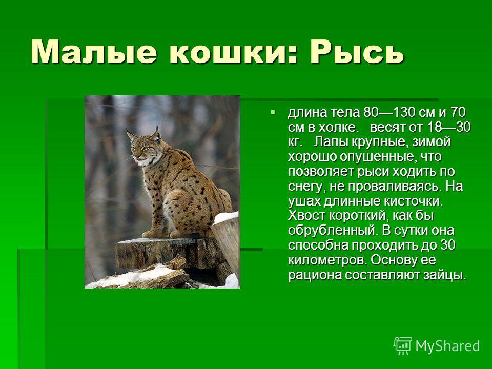 Малые кошки: Рысь длина тела 80130 см и 70 см в холке. весят от 1830 кг. Лапы крупные, зимой хорошо опушенные, что позволяет рыси ходить по снегу, не проваливаясь. На ушах длинные кисточки. Хвост короткий, как бы обрубленный. В сутки она способна про