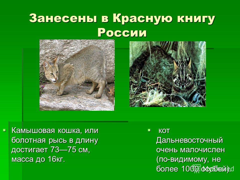 Занесены в Красную книгу России Камышовая кошка, или болотная рысь в длину достигает 7375 см, масса до 16кг. Камышовая кошка, или болотная рысь в длину достигает 7375 см, масса до 16кг. кот Дальневосточный очень малочислен (по-видимому, не более 1000