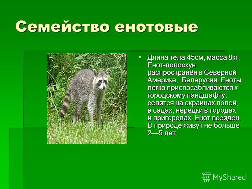 Семейство енотовые Длина тела 45см, масса 8кг. Енот-полоскун распространён в Северной Америке, Беларусии. Еноты легко приспосабливаются к городскому ландшафту, селятся на окраинах полей, в садах, нередки в городах и пригородах. Енот всеяден. В природ