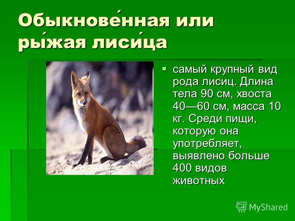 Обыкновенная или рыжая лисица самый крупный вид рода лисиц. Длина тела 90 см, хвоста 4060 см, масса 10 кг. Среди пищи, которую она употребляет, выявлено больше 400 видов животных самый крупный вид рода лисиц. Длина тела 90 см, хвоста 4060 см, масса 1
