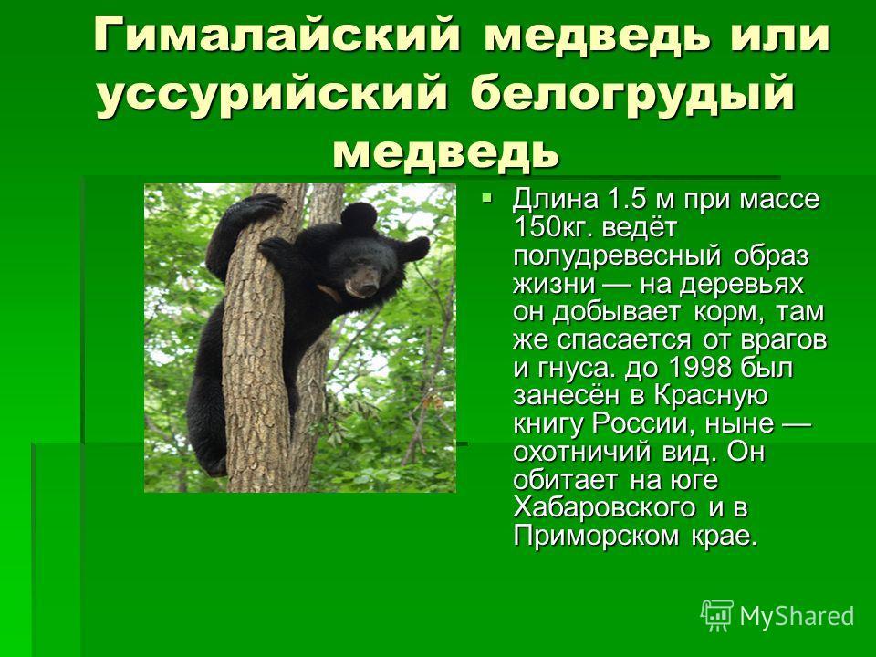 Гималайский медведь или уссурийский белогрудый медведь Гималайский медведь или уссурийский белогрудый медведь Длина 1.5 м при массе 150кг. ведёт полудревесный образ жизни на деревьях он добывает корм, там же спасается от врагов и гнуса. до 1998 был з