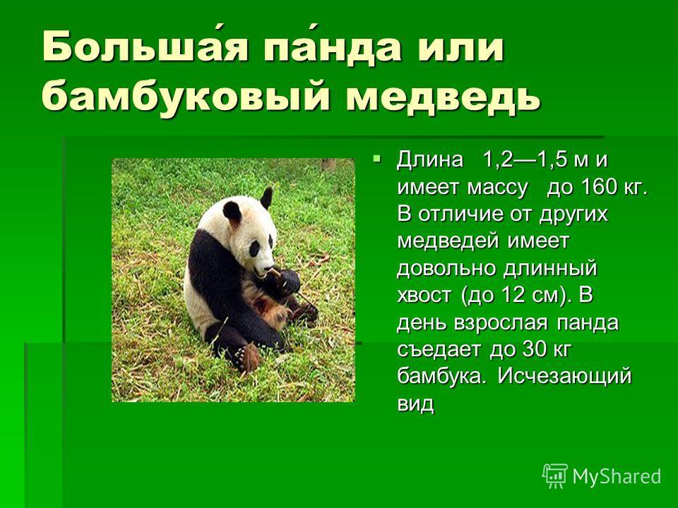 Большая панда или бамбуковый медведь Длина 1,21,5 м и имеет массу до 160 кг. В отличие от других медведей имеет довольно длинный хвост (до 12 см). В день взрослая панда съедает до 30 кг бамбука. Исчезающий вид Длина 1,21,5 м и имеет массу до 160 кг.
