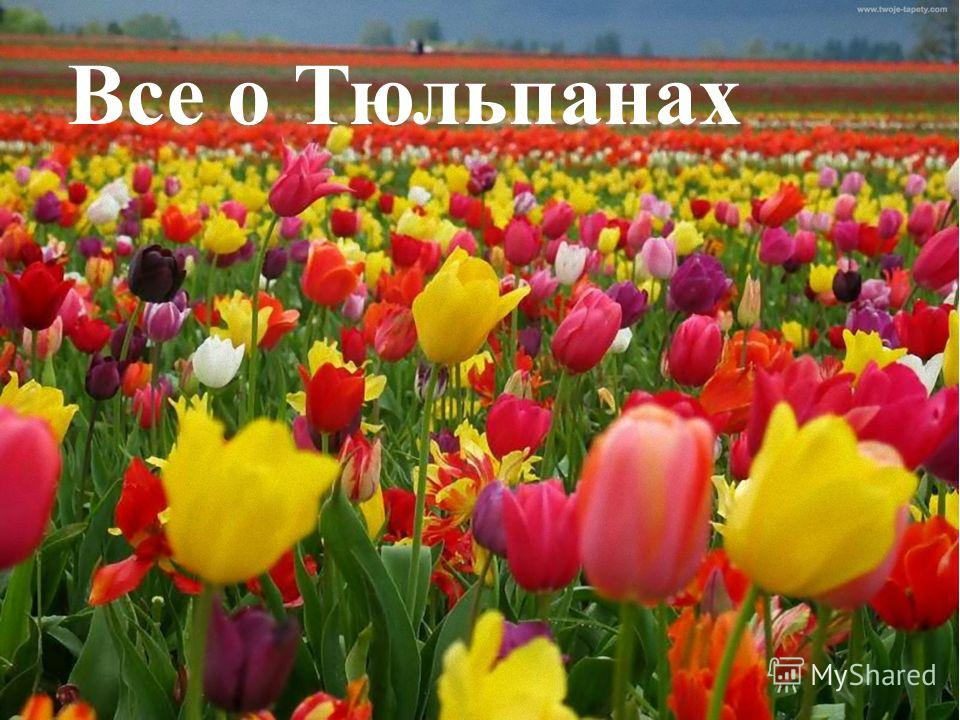Все о Тюльпанах
