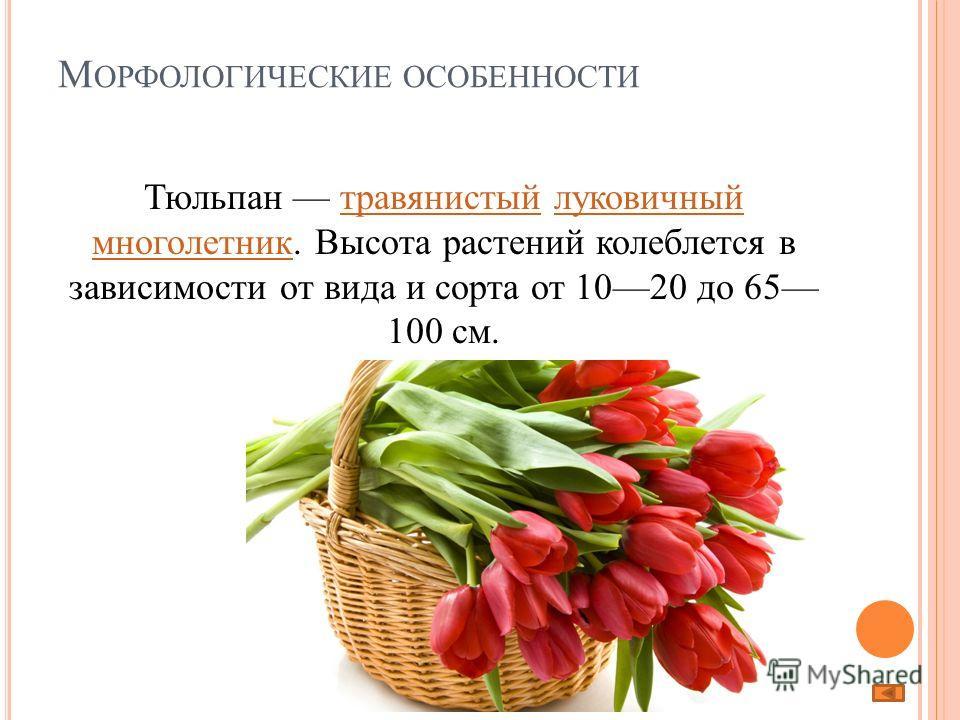 М ОРФОЛОГИЧЕСКИЕ ОСОБЕННОСТИ Тюльпан травянистый луковичный многолетник. Высота растений колеблется в зависимости от вида и сорта от 1020 до 65 100 см.травянистыйлуковичный многолетник