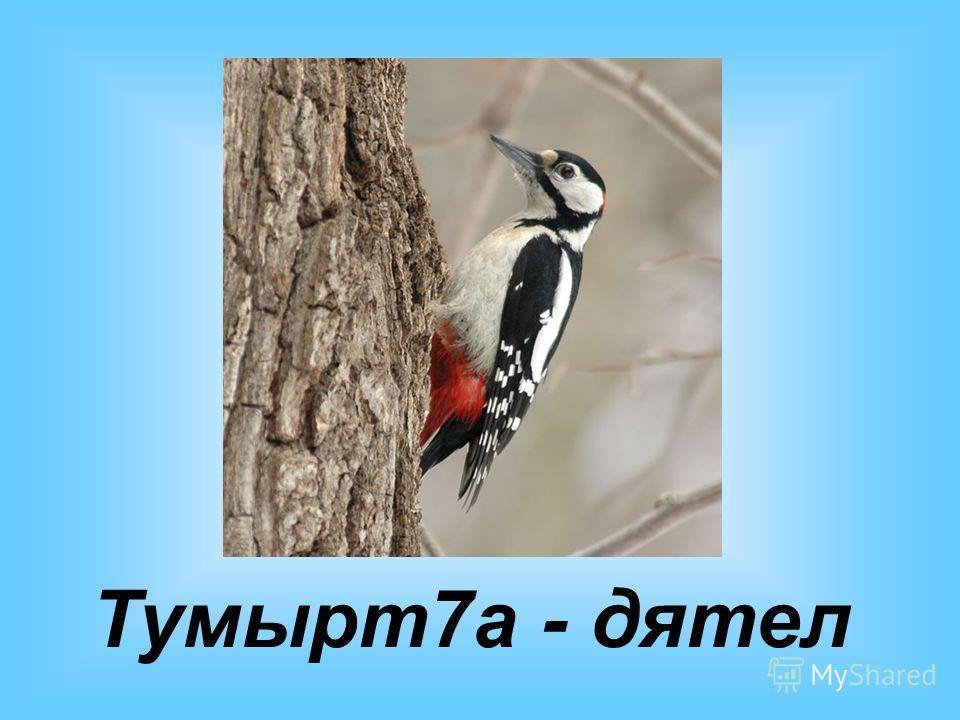 Тумырт7а - дятел