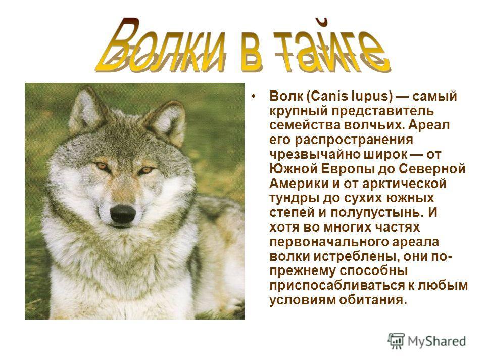 Волк (Canis lupus) самый крупный представитель семейства волчьих. Ареал его распространения чрезвычайно широк от Южной Европы до Северной Америки и от арктической тундры до сухих южных степей и полупустынь. И хотя во многих частях первоначального аре