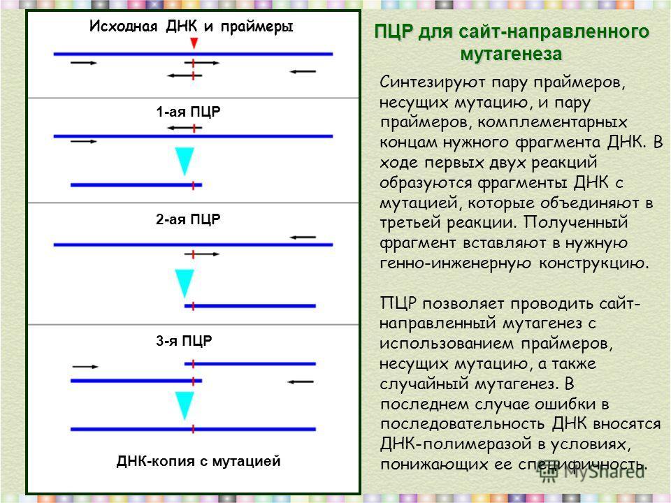 ПЦР для сайт-направленного мутагенеза Исходная ДНК и праймеры 1-ая ПЦР 2-ая ПЦР 3-я ПЦР ДНК-копия с мутацией Синтезируют пару праймеров, несущих мутацию, и пару праймеров, комплементарных концам нужного фрагмента ДНК. В ходе первых двух реакций образ