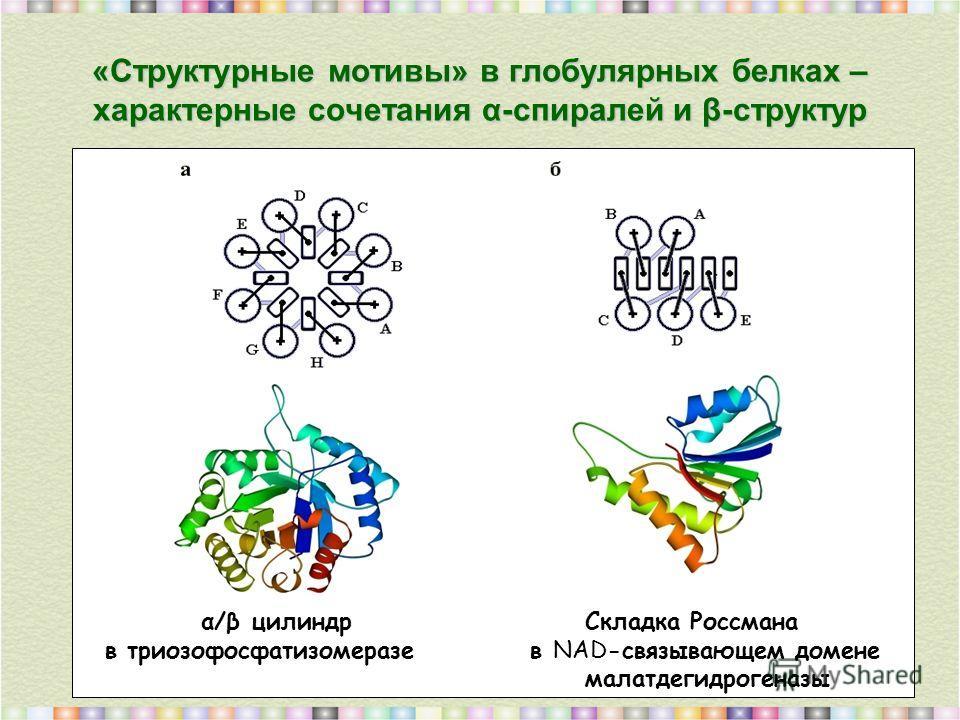 «Cтруктурные мотивы» в глобулярных белках – характерные сочетания α-спиралей и β-структур α/β цилиндр Складка Россмана в триозофосфатизомеразе в NAD-связывающем домене малатдегидрогеназы