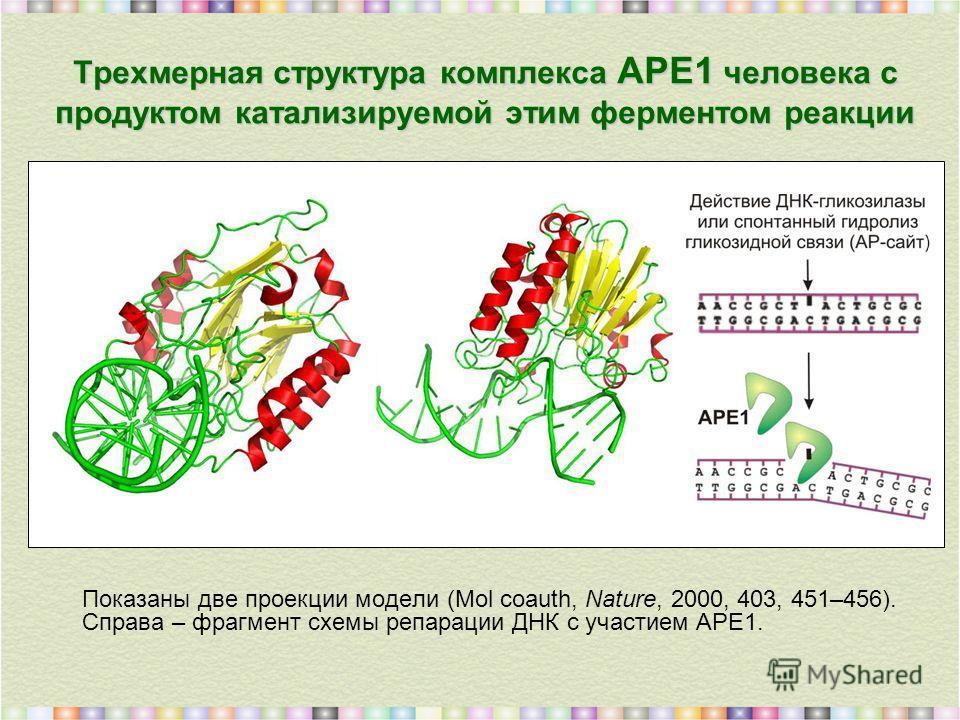Трехмерная структура комплекса АРЕ1 человека с продуктом катализируемой этим ферментом реакции Показаны две проекции модели (Mol coauth, Nature, 2000, 403, 451–456). Справа – фрагмент схемы репарации ДНК с участием АРЕ1.