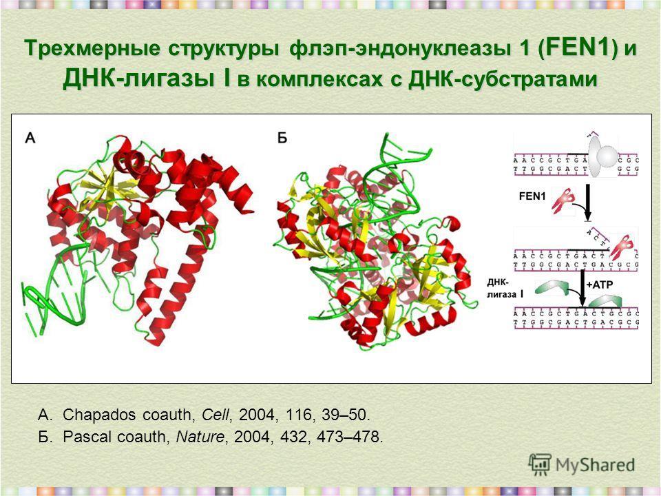 Трехмерные структуры флэп-эндонуклеазы 1 ( FEN1 ) и ДНК-лигазы I в комплексах с ДНК-субстратами А.Chapados coauth, Cell, 2004, 116, 39–50. Б.Pascal coauth, Nature, 2004, 432, 473–478.
