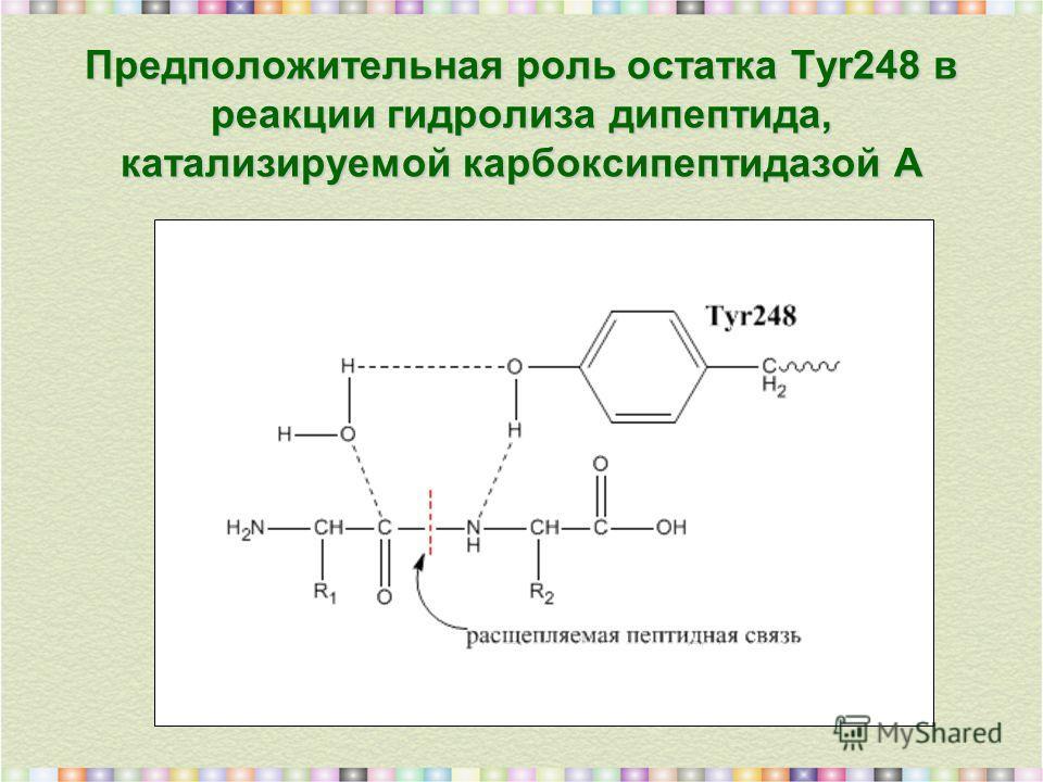 Предположительная роль остатка Tyr248 в реакции гидролиза дипептида, катализируемой карбоксипептидазой А